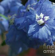 Pretty Blue Delphinia Poster