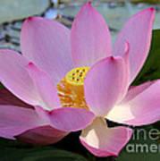 Pretty Pink Lotus Poster