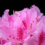 Pretty Pink Rhododendron Blossoms Poster