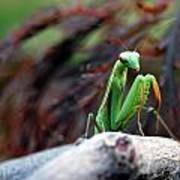 Preying Mantis Poster