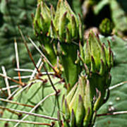 Prickly Pear Cactus Buds Poster