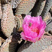 Prickly Pear Cactus Fertilized By Honey Bee Poster