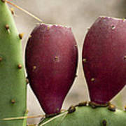 Prickly Pear Cactus Fruit Poster