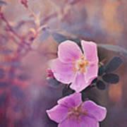Prickly Rose Poster