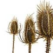 Prickly Teasels On White Poster