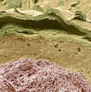 Primate Ear Canal, Sem Poster