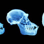 Primate Skulls Poster