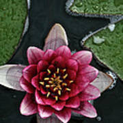 Primo Waterlily Poster