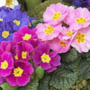 Primrose Primula Sp Flowers Poster
