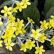 Primula Verticillata Flowers Poster