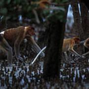 Proboscis Monkeys Travel Over Mangrove Poster by Tim Laman