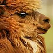 Profile Of A Camelid Poster