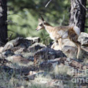 Pronghorn Antelope Fawn Poster
