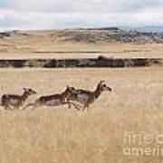 Pronghorn Antelopes On The Run Poster