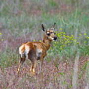 Pronghorn Fawn Poster