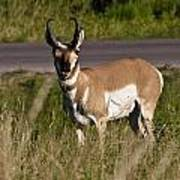 Pronghorn Male Custer State Park Black Hills South Dakota -2 Poster
