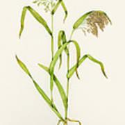 Proso Millet (panicum Miliaceum), Artwork Poster by Lizzie Harper