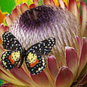 Protea With Speckled Butterfly Poster
