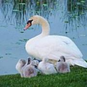 Proud Mother Swan Poster