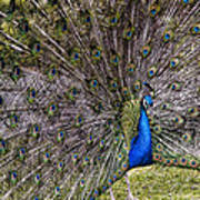Proud Peacock At Leeds Castle Poster