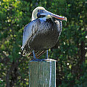 Proud Pelican Of Pine Island Poster