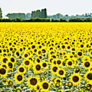 Provencial Sunflowers Poster