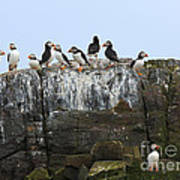 Puffins On A Cliff Edge Poster