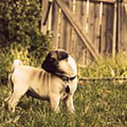 Pug Pose Poster