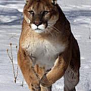 Puma At The Run Poster