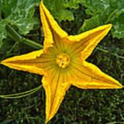 Pumpkin Flower 1 Poster