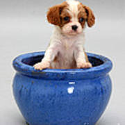 Puppy In A Pot Poster by Jane Burton