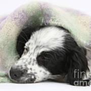 Puppy Sleeping Under Scarf Poster