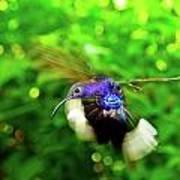 Purple And Blue Hummingbird  Poster