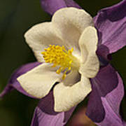 Purple And White Columbine Blossom Facing The Sun - Aquilegia Poster
