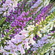 Purple And White Foxglove Square Poster