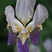 Purple And White Iris 2 Poster