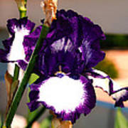 Purple And White Iris Poster