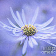 Purple Aster Flower Poster