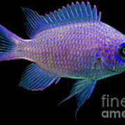 Purple Chromis Poster