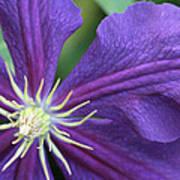 Purple Clematis Poster