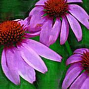 Purple Coneflower Trio Poster