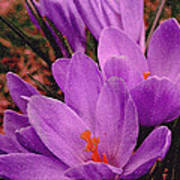 Purple Crocus With A Texture Poster