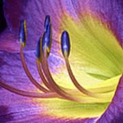 Purple Daylily Poster