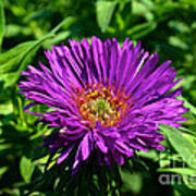 Purple Dome New England Aster Poster
