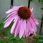 Purple Echinacea Poster