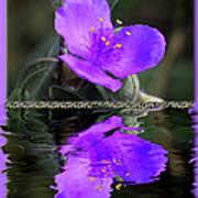 Purple Elegance - Spider Wort Poster