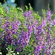 Purple English Garden  Poster