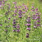 Purple Flower Field Poster