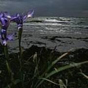 Purple Irises On Beach Poster