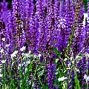 Purple Lavender Flower In Bloom  Poster